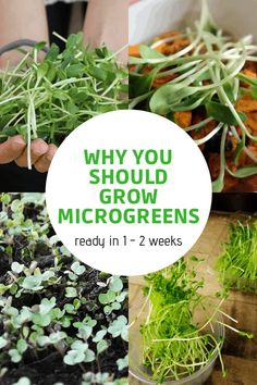Grow microgreens in as little as one to two weeks. Microgreens spruce up old recipes with intense flavors and colors, and are packed with nutrients. Fruit Garden, Garden Seeds, Veggie Gardens, Edible Garden, Herb Garden, Garden Plants, Gardening For Beginners, Gardening Tips, Gardening Vegetables