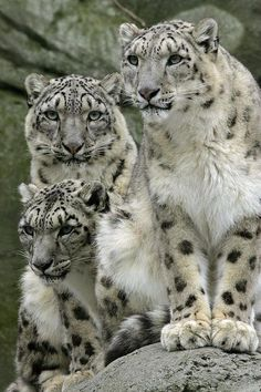Snow Leopard Family