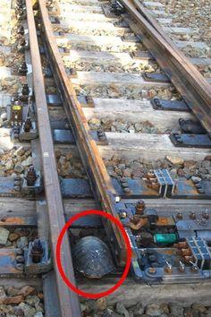 Японцы построили специальные железнодорожные переходы для черепах и вот почему
