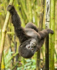 Hanging About: A two year old mountain gorilla (Gorilla beringei beringei) of the Sabinyo family, plays in the bamboo forest of Volcanoes National Park, Rwanda.