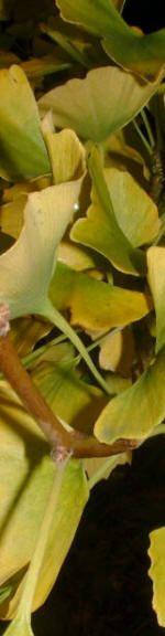 Ginkgo biloba, bomen met prachtige gele herfstkleuren voor de najaarstuin
