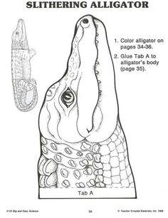 Alligator 3/3