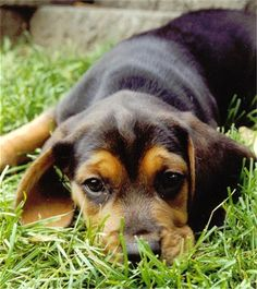this would be a good dog for ryder when he is a little older...black and tan beagle