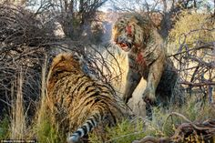 In the thick of it: This is the incredible moment a pair of bloodied tigers slashed each other with their claws in dramatic fight over terri...