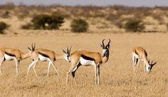antelope grazing - Google 検索