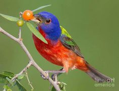 Painted Bunting (Passerina ciris) by Jerry Fornarotto.