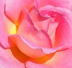 .: peace rose