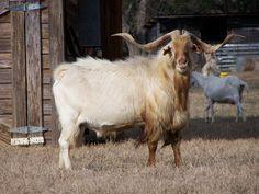 Kiko goat horns