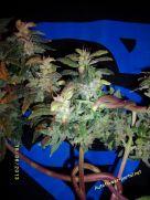 SBR70-II mold 21 June 2013 - cannabis art from Stunted