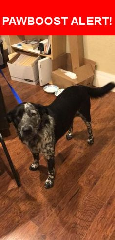 Is this your lost pet? Found in Amarillo, TX 79109. Please spread the word so we can find the owner!  Black w/ white/gray/black spots on chest and legs; white tipped tail; very sweet  Near S Georgia St & Virginia Cir