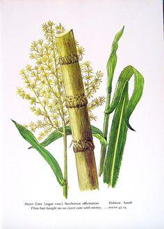 Sweet Cane Sugar Cane Plant - Vintage 1957 Botanical Print with Bible ...