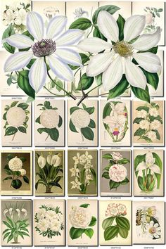 WHITE-6 FLOWERS Collection of 254 vintage images pictures High resolution digital download printable group 300 dpi whitey honky snow color           data-share-from=listing        >           <span class=etsy-icon