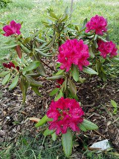 Alppiruusu Plants, Plant, Planets