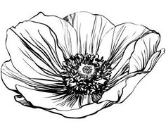 a black and white picture poppy flower photo