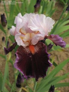 TB Iris germanica 'Tomorrow's Child' (Blyth, 1981)