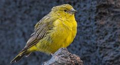Monte Yellow-Finch (Sicalis mendozae) - Introduction | Neotropical Birds Online