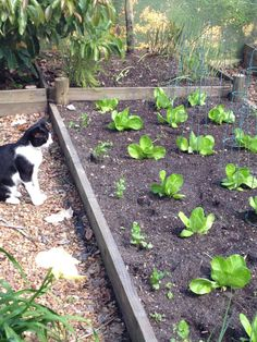 Rows of lettuce with coriander down the sides and a precious Buster boy watching.
