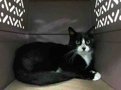 TO BE DESTROYED 10/18/14 ** ADORABLE TUXIE!! This pretty boy is terrified in the shelter and needs out now. Please adopt, foster, or pledge to save his life tonight!! ** Brooklyn Center  My name is PIPPIN. My Animal ID # is A1017043. I am a male black and white domestic sh mix. The shelter thinks I am about 6 YEARS old.  I came in the shelter as a STRAY on 10/10/2014 from NY 11209