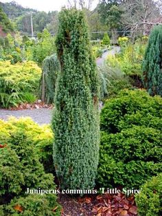 """Juniperus communis 'Little Spire' Juniperus communis 'Little Spire' A dwarf form of the """"Irish Juniper"""". Slow growing, reaching approx 1-1.5M x 20-30cm in the 10 years. attractive grey foliage. A great accent feature in a rockery."""