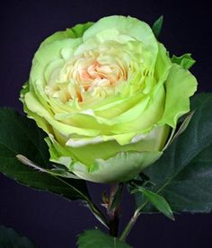 Green Beauty 60 to 70cm Fresh Roses.: