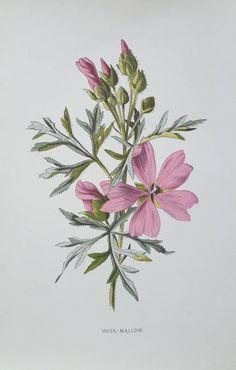 Framed Print featuring the painting Musk Mallow by Frederick Edward Hulme Botanical Drawings, Botanical Illustration, Botanical Prints, Antique Prints, Vintage Prints, Vintage Flowers, Pink Flowers, Broken Book, Mallow Flower