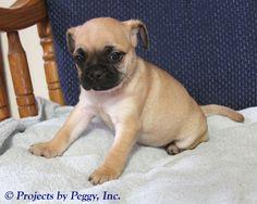 Bonnie, female Frenchie Pug.  DOB: Nov 27, 2015 $775.00. Call 570-922-1765.