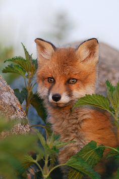 Red Fox Cub by Erik Mandre