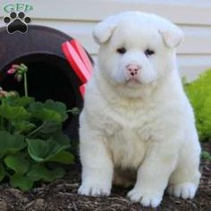 When to Change Your Dog's Diet Akita Puppies, Akita Dog, Inu, Labrador Retriever, Bear, Funny, Dogs, Cute, Animals