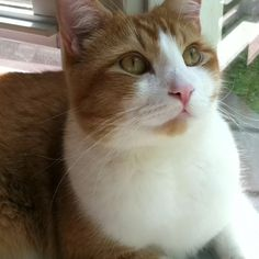 Our gorgeous orange and white cat, Nugget!