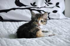 My new adopted kitty : ) #calico #kitten
