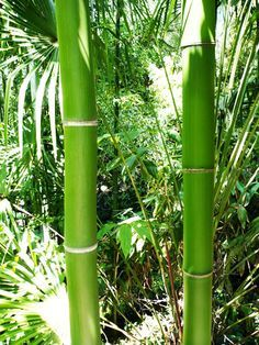 How to Grow Bamboo : Introduction Placement Planting Method Maintenance Controlling Indoor Growing Care and Maintence of Bamboo