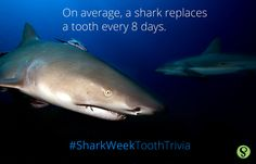 Did you know that every 8 days, a shark replaces a tooth!?   Visit our website! http://www.smilesavvy.com/
