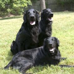 Neverland Flat-Coated Retrievers