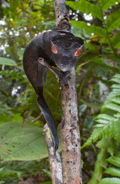 Satanic leaf-tailed gecko (Uroplatus phantasticus), found only in Madagascar
