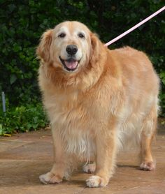 This is Sissy - 10 yrs. She was was diagnosed with an inoperable mass in her abdomen and was not expected to live for more than a few weeks. She has been with her foster family for six months now. Read : http://www.goldenretrievers.org/our-dogs/sissy-15-133 - Donate : http://www.goldenretrievers.org/donate/