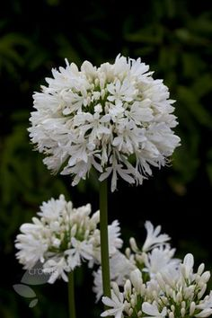 Agapanthus 'Snow Cloud'  African lily