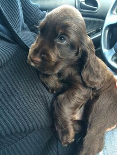 My beautiful chocolate, english cocker spaniel Puppies cocker spaniel Perro Cocker Spaniel, Black Cocker Spaniel, Show Cocker Spaniel, English Cocker Spaniel Puppies, Chocolate Cocker Spaniel, Cute Puppies, Cute Dogs, Dogs And Puppies, Doggies