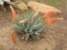 Aloe claviflora Burch. 1822 | Flickr - Photo Sharing!