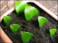 Размножение лилий листьями и стеблями