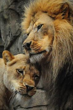 The King of the jungle & she she the Queen.  They are beautiful!