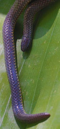 Philippine Dwarf Snake Calamaria gervaisi