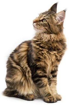 Imagen de http://www.ocio.net/wp-content/uploads/mascotas/maine-coon02.jpg.