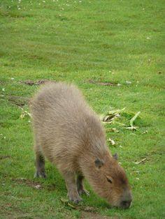Hydrochoeris hydrochaeris (Capybara) in Howletts Wild Animal Park, Kent, England.  by CT Cooper