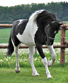 Barockpinto stallion, Bonte Duke.