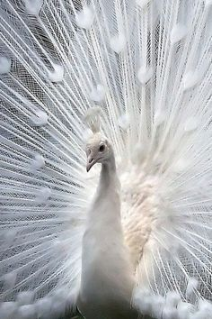 Beautiful White peacock (not an albino, white is a color variation)
