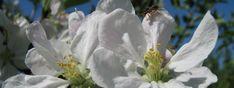 kvet jablone Plants, Self, Planters, Plant, Planting