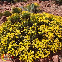DAMIANITA DAISY Chysactiana mexicana Bright daisy-like flowers adorn this small, compact shrub in spring and fall.