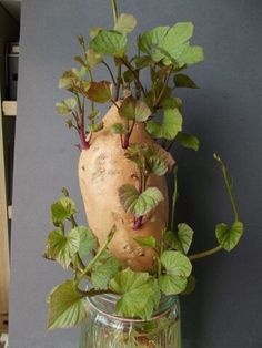 Batáta (édesburgonya) termesztése a kiskertben » Balkonada növények Purple Plants, Garden Crafts, Fruits And Veggies, Beautiful Gardens, Container Gardening, Animals And Pets, Fall Decor, Diy And Crafts, Glass Vase