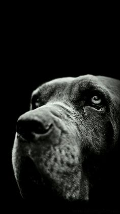Full High Quality (HQ) Black Dogs Wallpapers and Pictures - HD Photos Dog Photos, Dog Pictures, Black Star, Black And White, Beagle Mix, Girl And Dog, Black Labrador, Jack Russell Terrier, Rottweiler