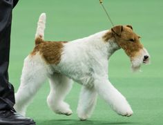 Sky The Wire Fox Terrier Wins Best In Show At Westminster